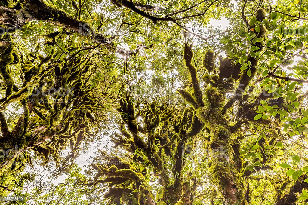 Mossy green trees in the Goblin Forest stock photo