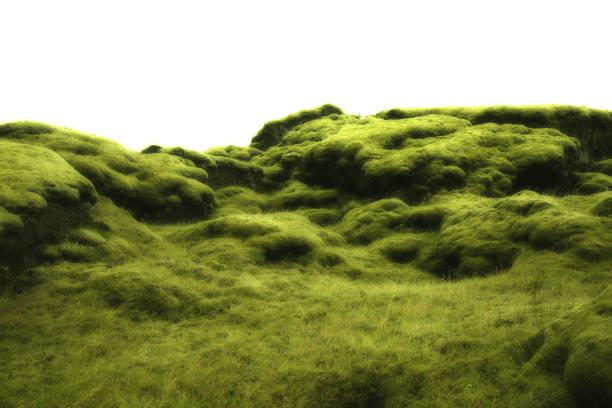 Mossy lavafield background in Iceland stock photo