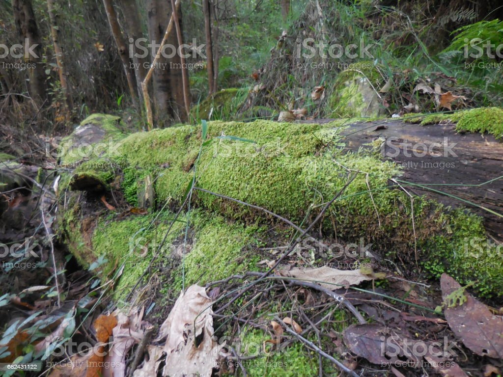 Mossy logs in the Dandenong Ranges royalty-free stock photo