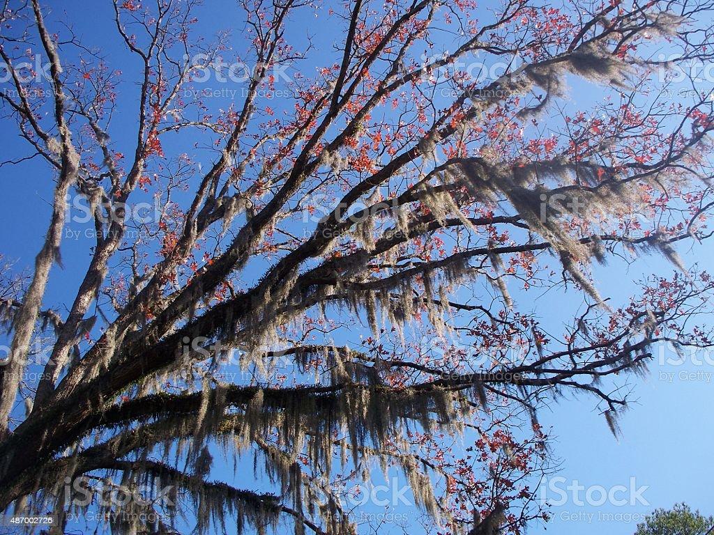Mossy Oak Tree stock photo