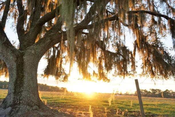 Mossy Oak with Sunset Background in Christmas Florida on Christmas Eve stock photo