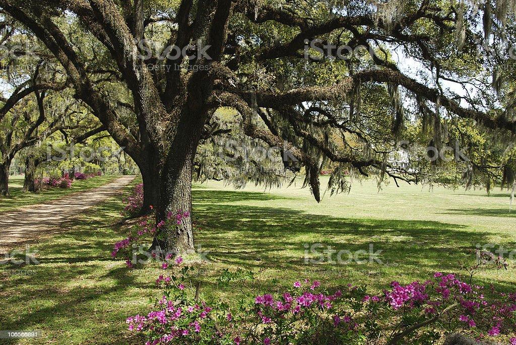 Mossy Oaks royalty-free stock photo