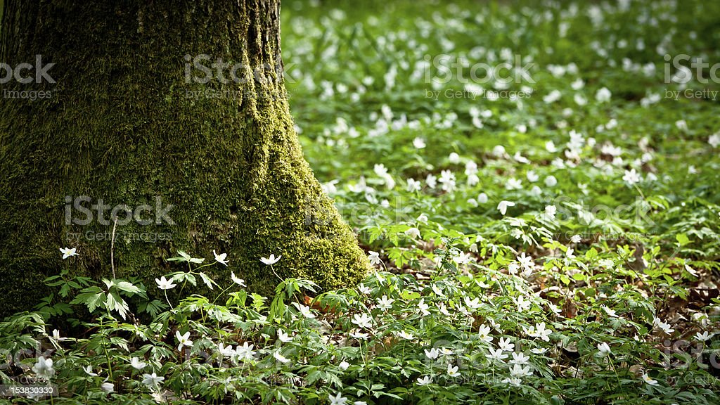 Mossy old tree and windflower in forest royalty-free stock photo
