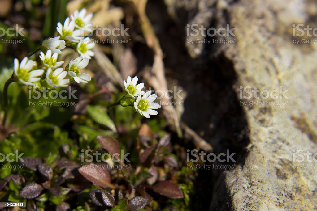 Mossy Saxifrage stock photo
