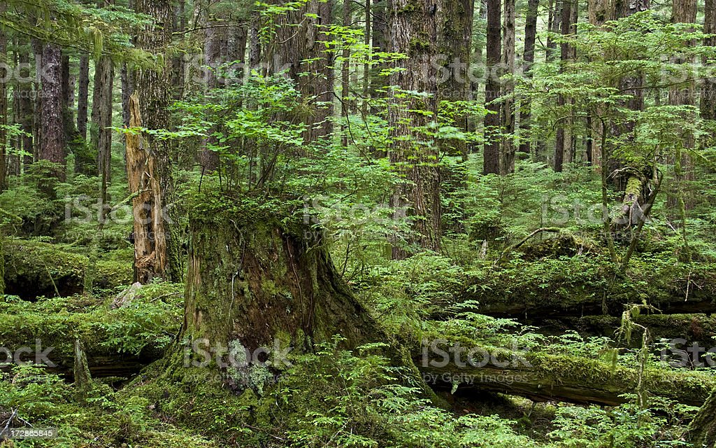 Mossy stump and logs in West Coast, old-growth rain forest stock photo