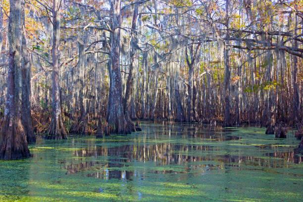 mossy swamp land with mangrove trees in louisiana, usa. - bagno zdjęcia i obrazy z banku zdjęć