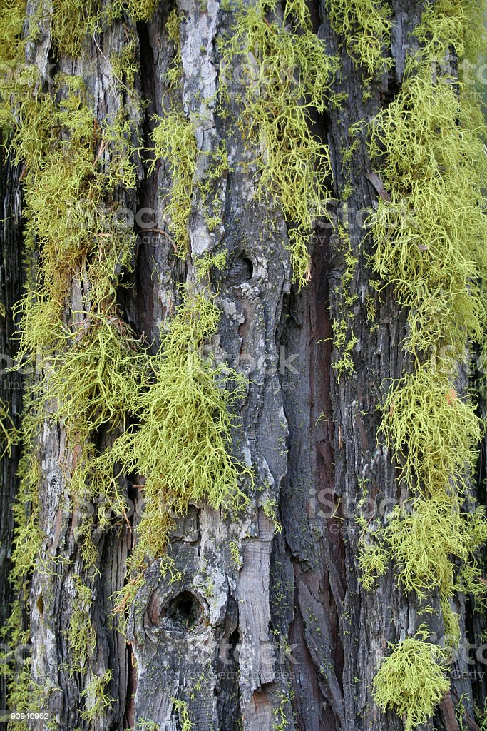Mossy Tree Bark Texture royalty-free stock photo