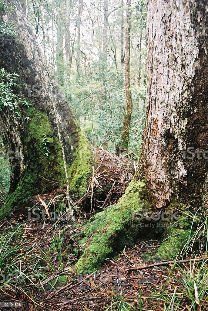 Mossy Trees royalty-free stock photo