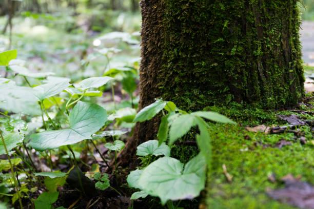 bemoosten bäumen im wald - baumgruppe stock-fotos und bilder