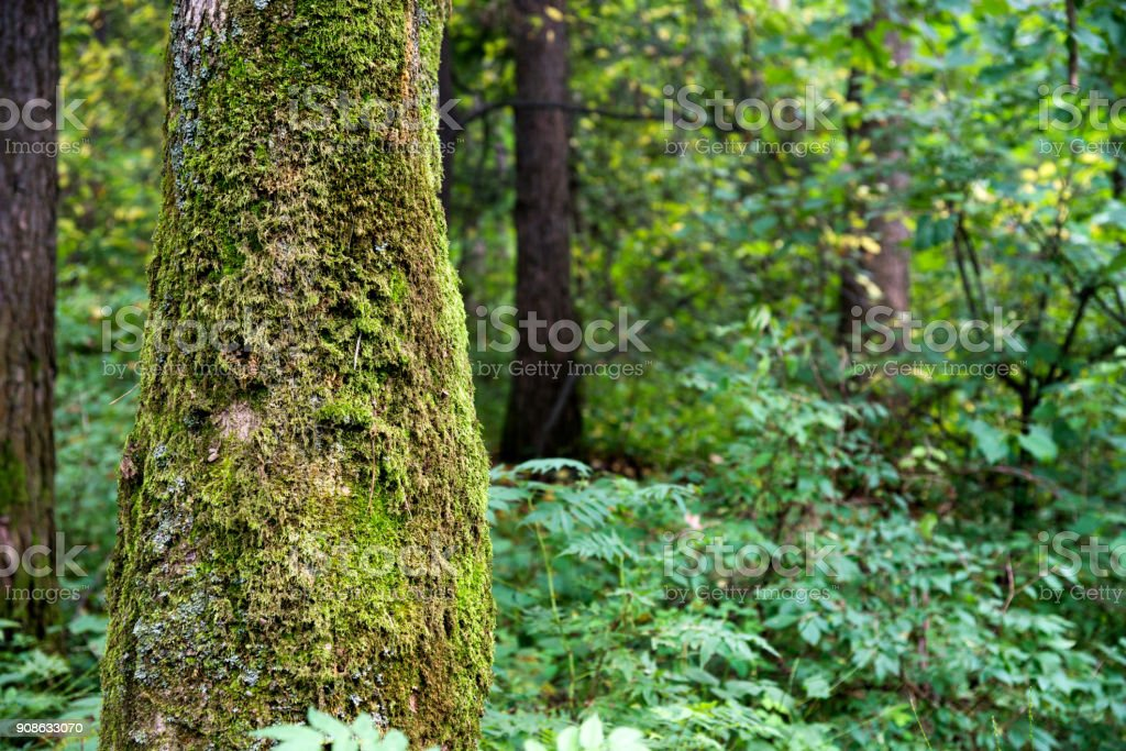 Mossy tress in the forest stock photo