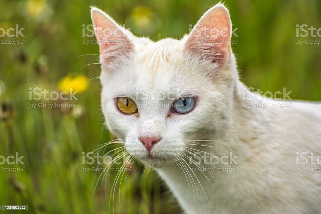 Die Schönste Weiße Katze Von Fremden Augen Der Welt Mit Einem Blauen