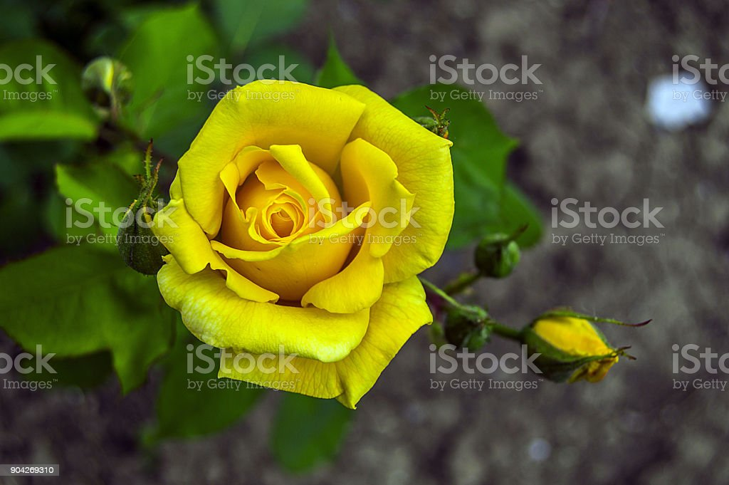Most Beautiful Yellow Rose Pictures Nature Rose Pictures Special