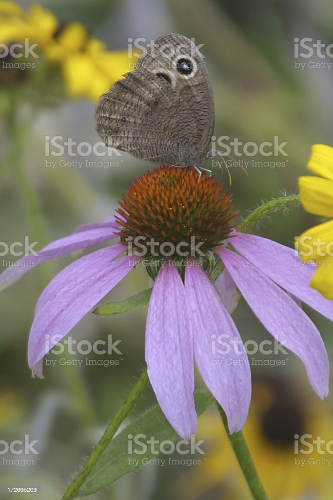 moth and coneflower royalty-free stock photo