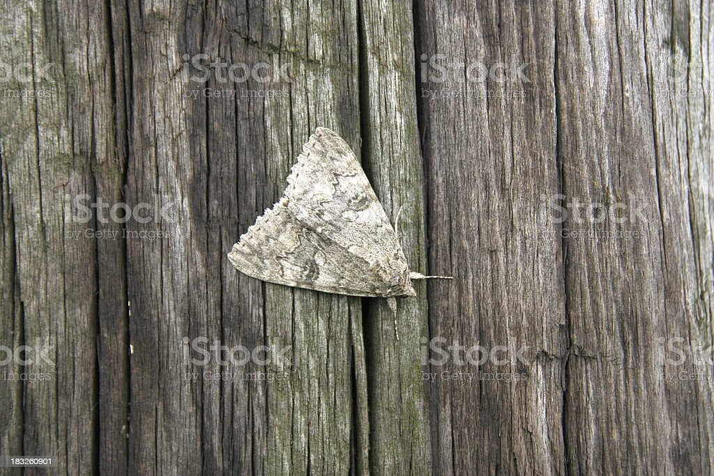 Moth Camouflage stock photo