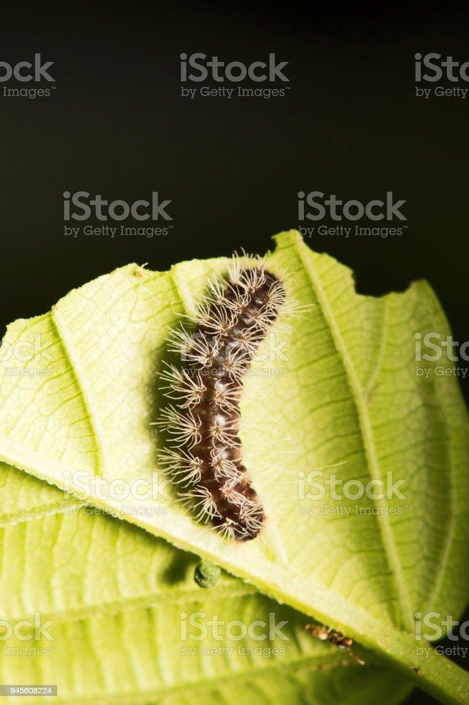 Moth caterpillar, Mumbai, Maharashtra, India stock photo