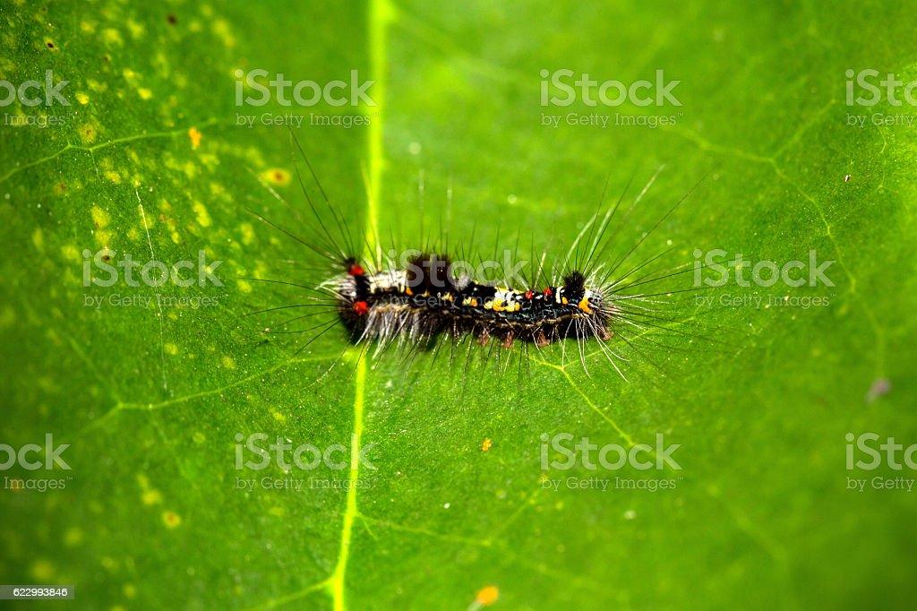 Moth Caterpillar on green leaf stock photo