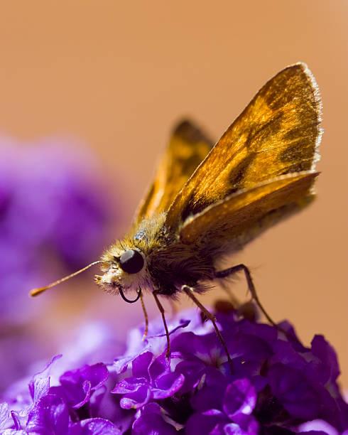 Moth Drinking Nectar stock photo