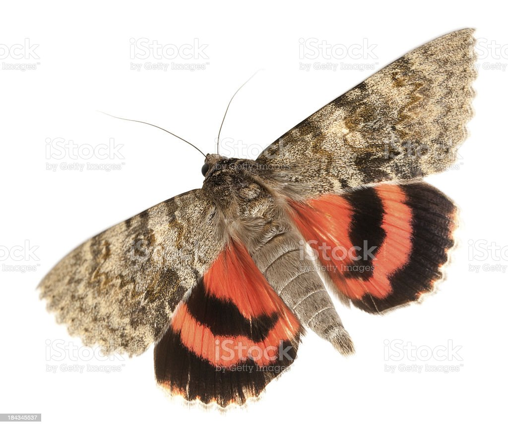 moth flying royalty-free stock photo