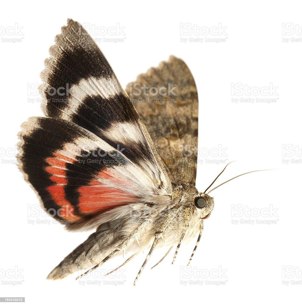 moth flying royalty-free stock photo