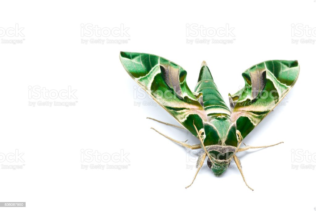 Moth Guard Month wraps and Oleander Hawk moth stock photo