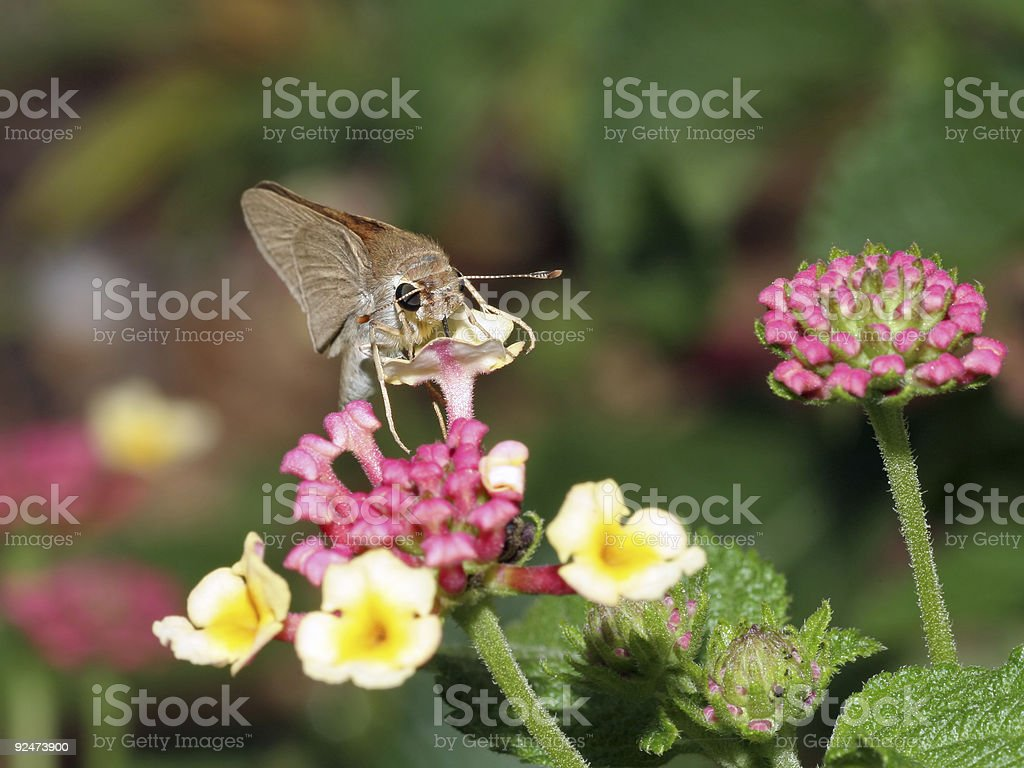 Moth having a meal royalty-free stock photo