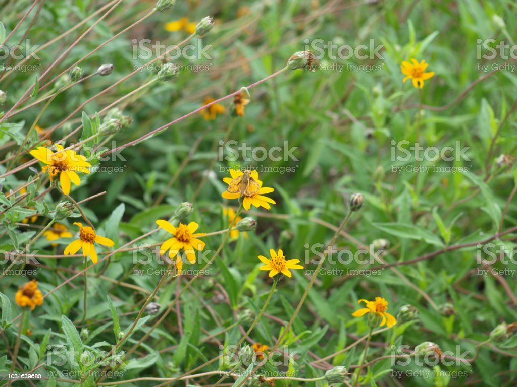 A Moth Hides In Plain View On A Yellow Bloom stock photo