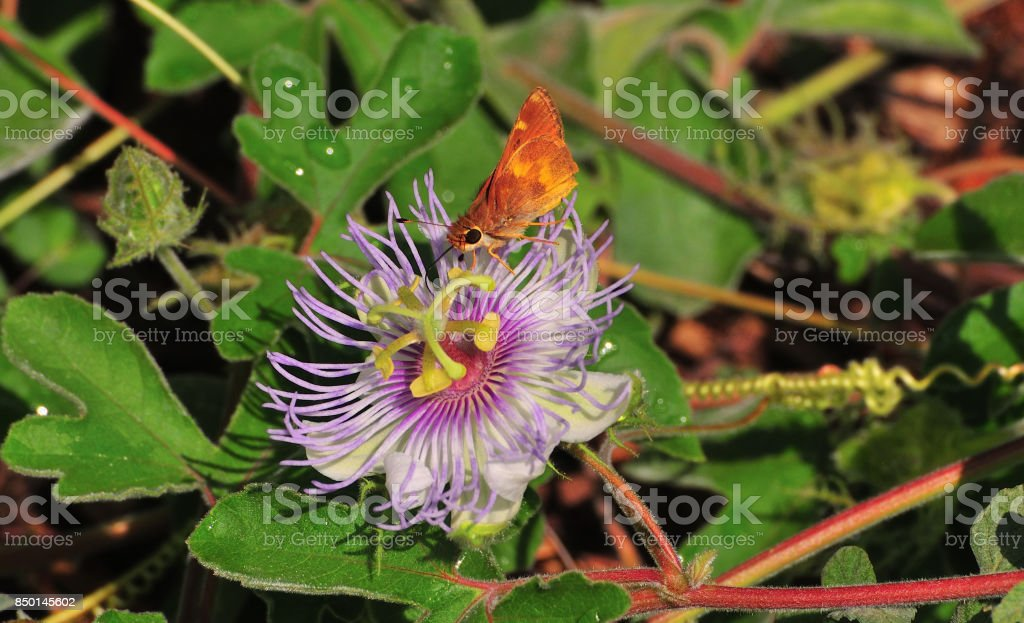 A moth in passion flower. stock photo