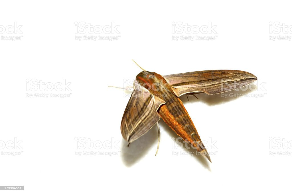 moth insects royalty-free stock photo