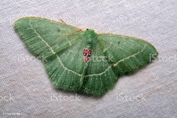 Moth lepidoptera from eaglenest wls arunachal pradesh picture id1174415768?b=1&k=6&m=1174415768&s=612x612&h=xounrgderlun1fkp9da5cgesqd150tclcoqdjhorbko=