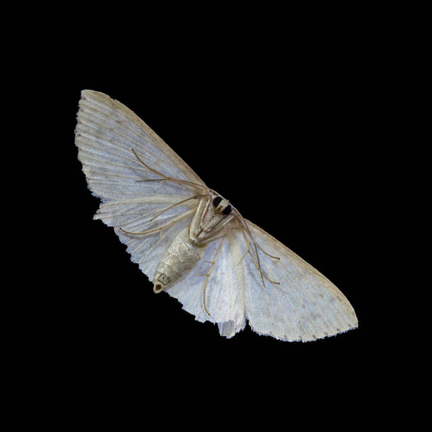 Moth of Borneo, Close-up Of Moth , Macro Shoot a cute Moth isolated on black background with clipping path stock photo