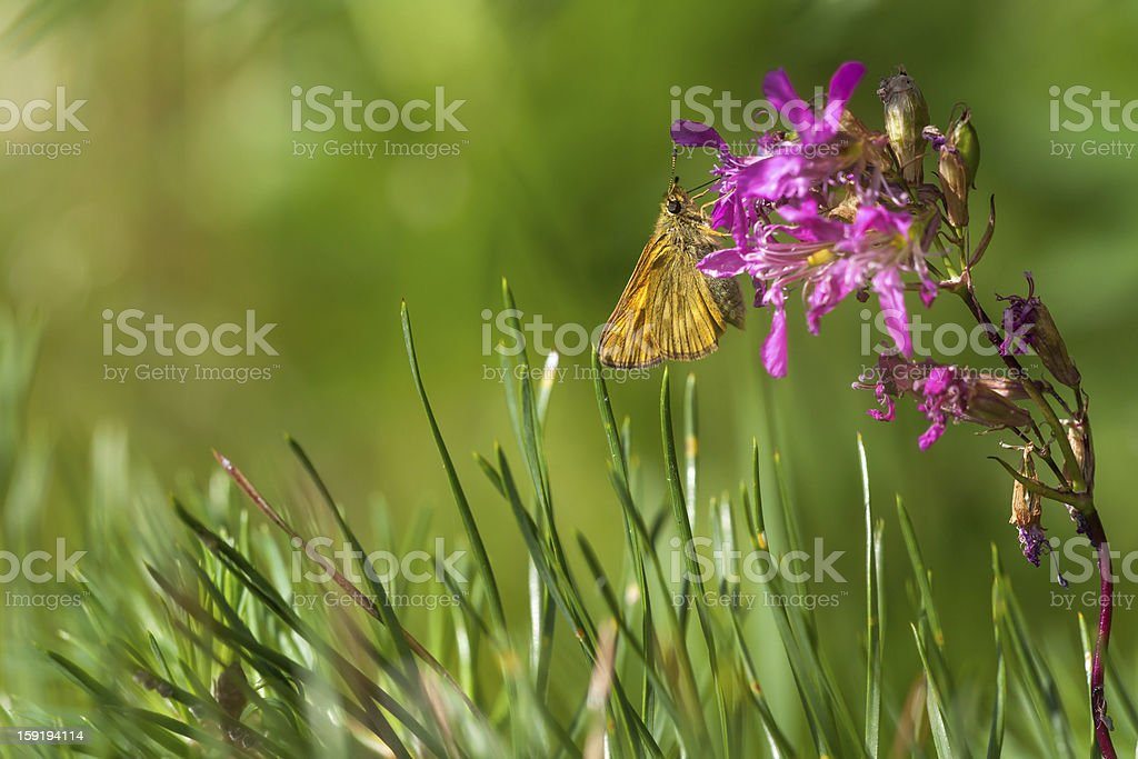 Moth on a flower royalty-free stock photo