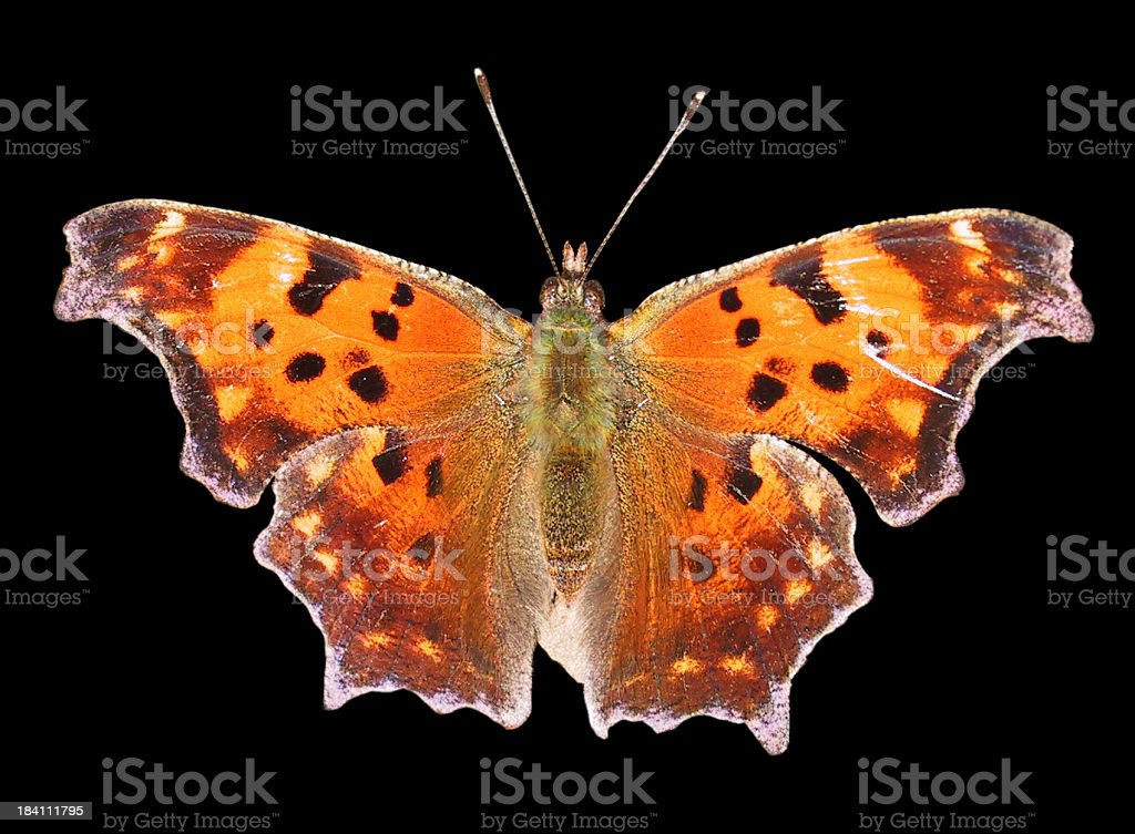 moth on black royalty-free stock photo
