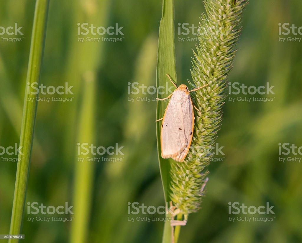 Moth on Phleum stock photo