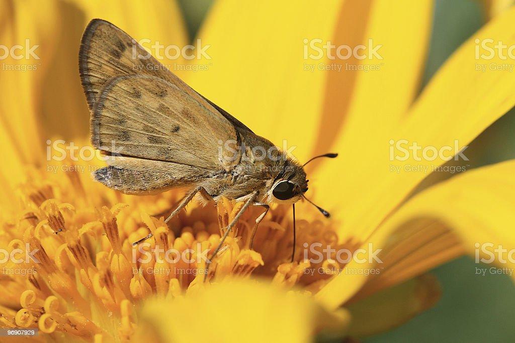 Moth on Sunflower royalty-free stock photo