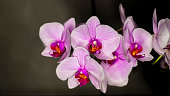 A purple Moth Orchid in full bloom. Soft pink Phalaenopsis flower. Cozy home interior detail.