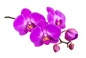 Purple flower of a phalaenopsis orchid with several buds on a branch close-up, isolated on a white background