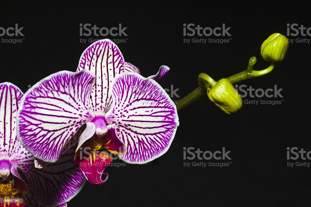 Moth Orchid, Phalaenopsis on black royalty-free stock photo