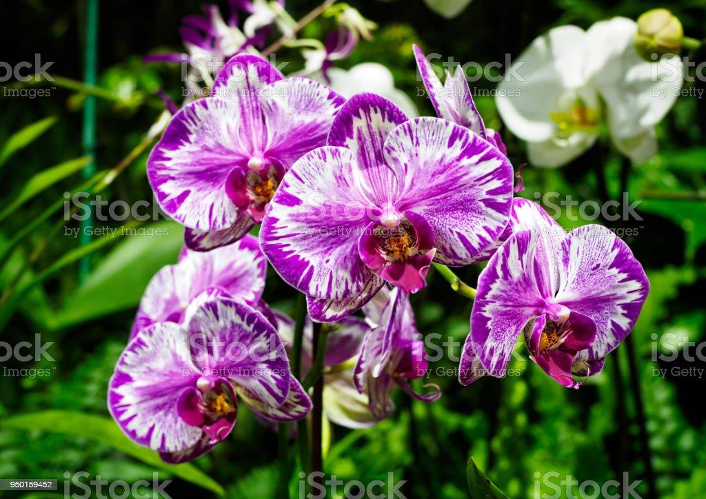 Orquídea de traça - Phalaenopsis sp. - foto de acervo