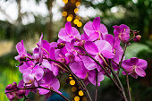 Moth Orchid, Phalaenopsis, with Bokeh