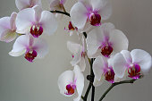 Moth orchid branch in bloom with purple white flowers