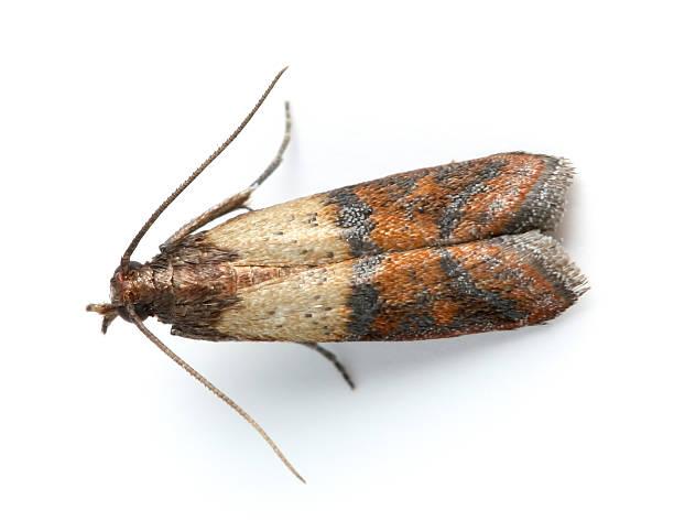 Papillon de nuit photos et images libres de droits istock - Gros papillon de nuit dangereux ...