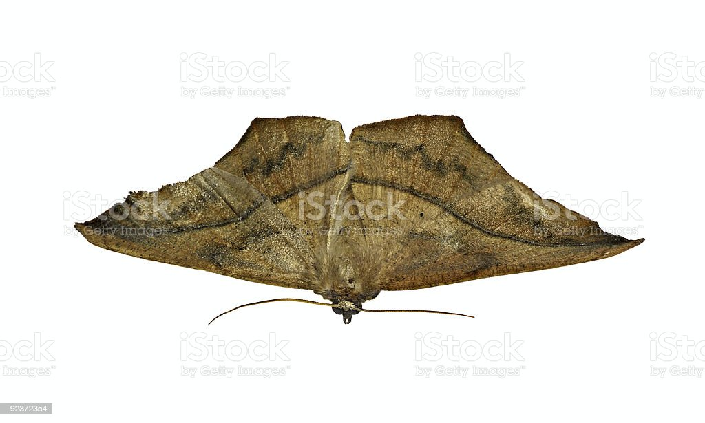 Moth royalty-free stock photo