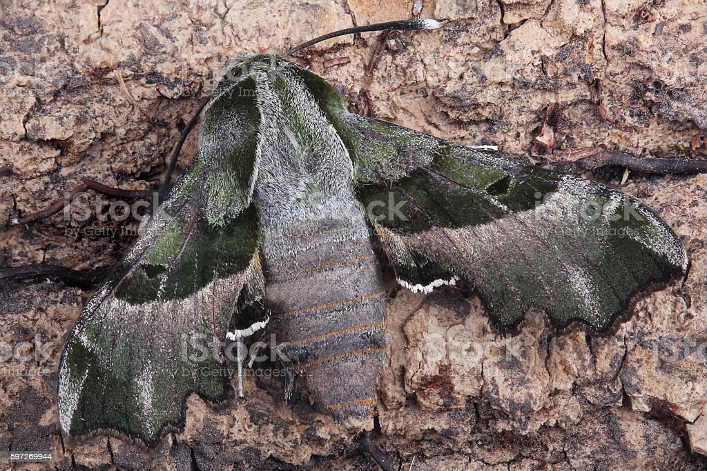 Moth - Willowherb Hawkmoth (Proserpinus proserpina) photo libre de droits