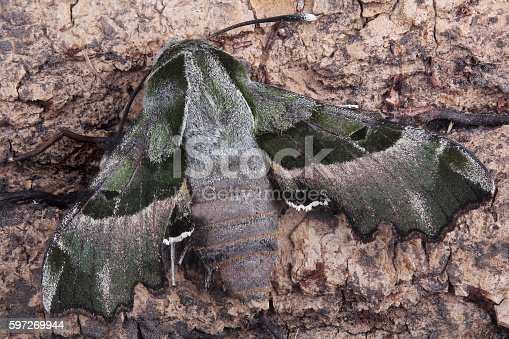 Moth Willowherb Hawkmoth Stock Photo & More Pictures of Animal Wildlife