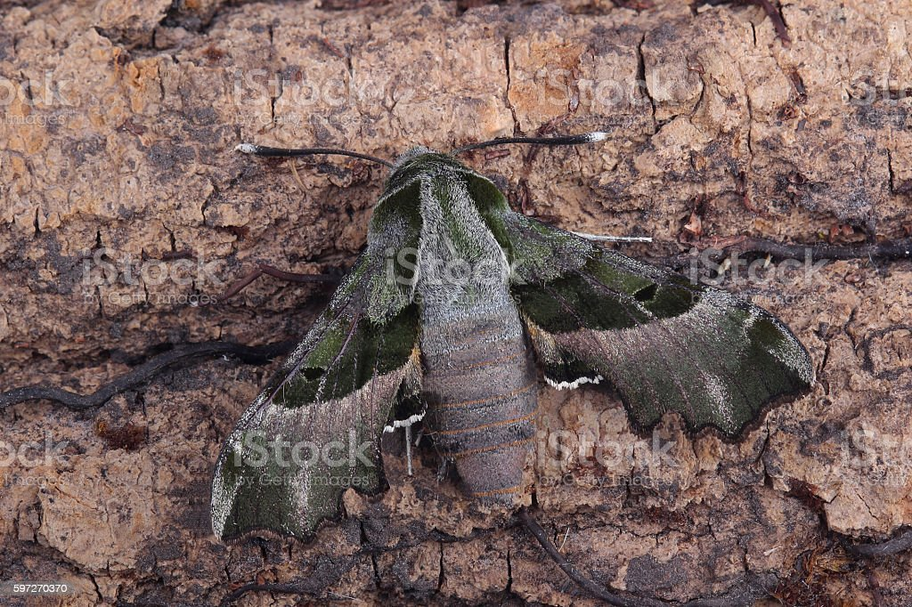 Moth - Willowherb Hawkmoth (Proserpinus proserpina) royalty-free stock photo