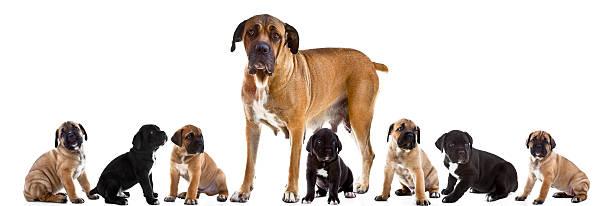 Mother and 7 puppies of cane corso italiano together picture id177512222?b=1&k=6&m=177512222&s=612x612&w=0&h=w q4rq txcaofrltygmwjj2wk4fi44mpjqtrttzzioc=