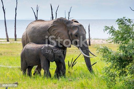 istock Mother and baby African Elephant Lake Kariba Zimbabwe 958493708