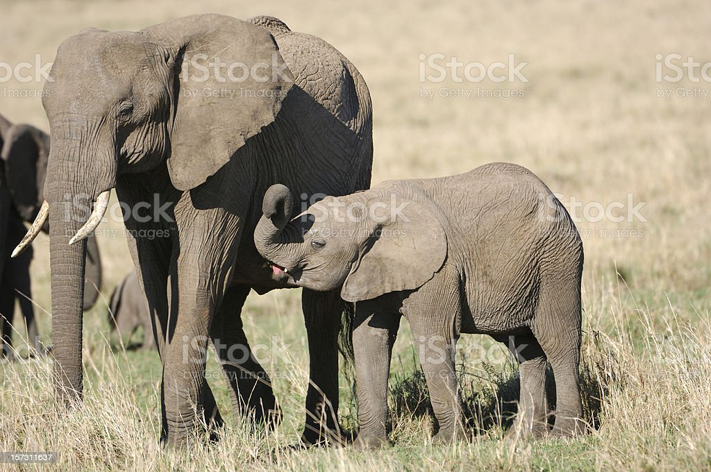 Mother and Baby African Elephant royalty-free stock photo
