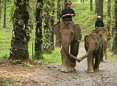 Sumatra, Indonesia - July 24, 2007: Mother and child Asian elephants walking holding trunks. Front on shot. Horizontal.
