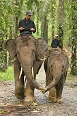 Sumatra, Indonesia - July 24, 2007: Mother and child Asian elephants walking holding trunks. Front on shot. Vertical.